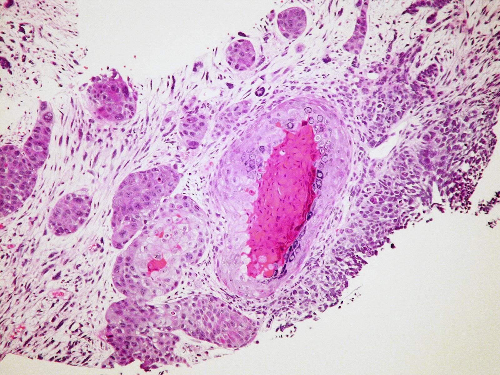 Une photographie libre de droit de cellules observées au microscope (CC)