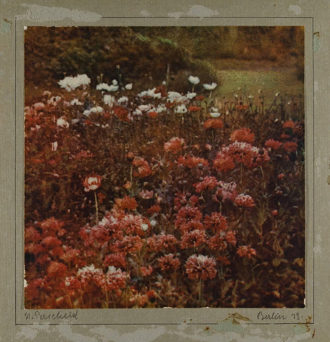 Perscheid-Mohnblumen