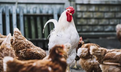 blockchain-poulet-carrefour
