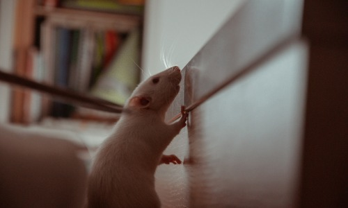Rats termites et insectes carnage archives Casablanca