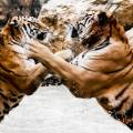 tigre-combat